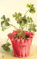 four leaf clovers plant in bright pink pot