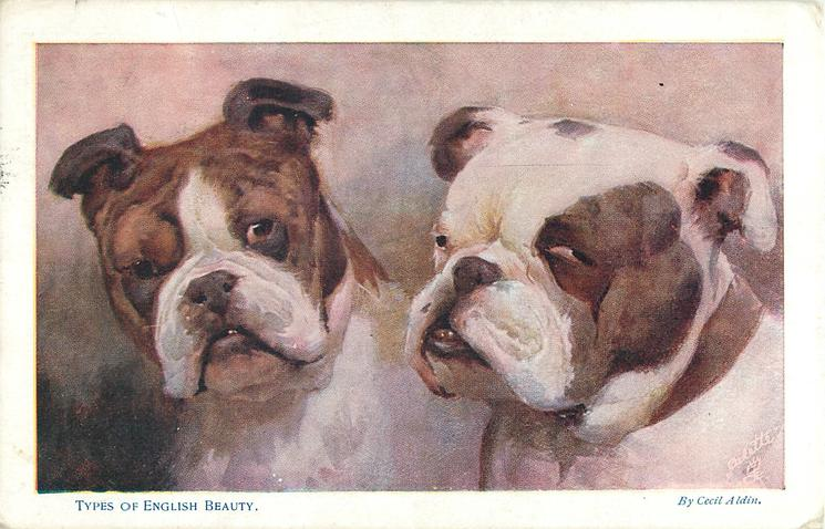 TYPES OF ENGLISH BEAUTY  two bulldog heads, brown head with white muzzle on left