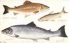 COMMON TROUT, VENDACE, SALMON