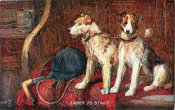 FOX  TERRIERS-ROUGH AND SMOOTH  EAGER TO START