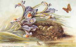IRIS AND YELLOW WAGTAIL'S NEST