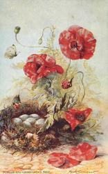 POPPIES AND GREENFINCH'S NEST