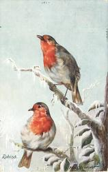 ROBINS  two on a snowy branch,  both face left