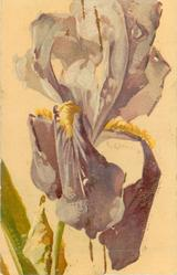 purple iris stalk & 3 leaves lower left