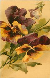 two purple & orange pansies, one bud at top, stalks to lower left