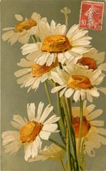 MARGUERITES  white daisies with yellow centres