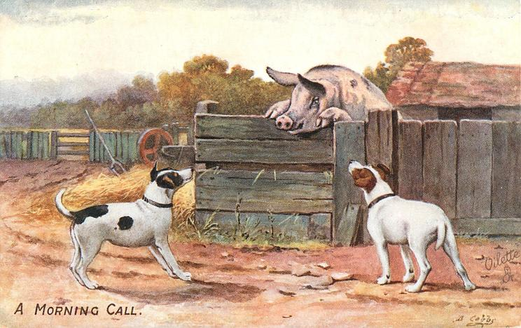 A MORNING CALL  two terriers look up at pig rearing up on stall