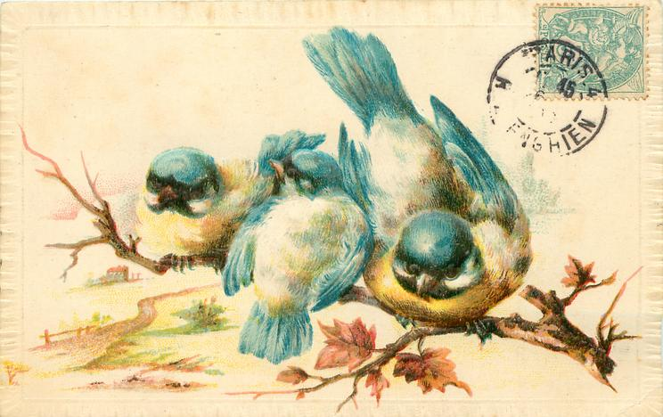 three blue-tits perched on bough