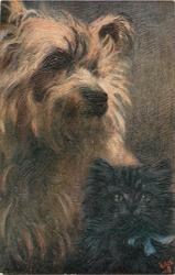 YORKSHIRE TERRIERS  dog sitting with kitten at lower right