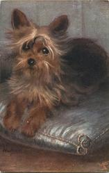 YORKSHIRE TERRIERS  dog on grey cushion, smaller image