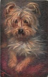 YORKSHIRE TERRIERS  dog on red cushion, larger image