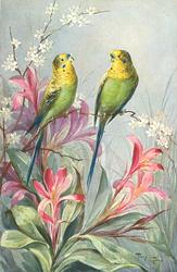 two budgerigars, red & white tropical flowers