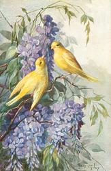 two yellow canaries, wisteria