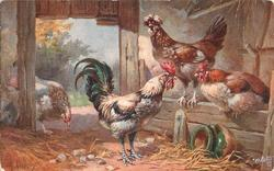rooster and three hens, two on partition in barn