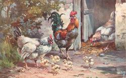 three chickens and five  chicks, one chicken coming out of doorway