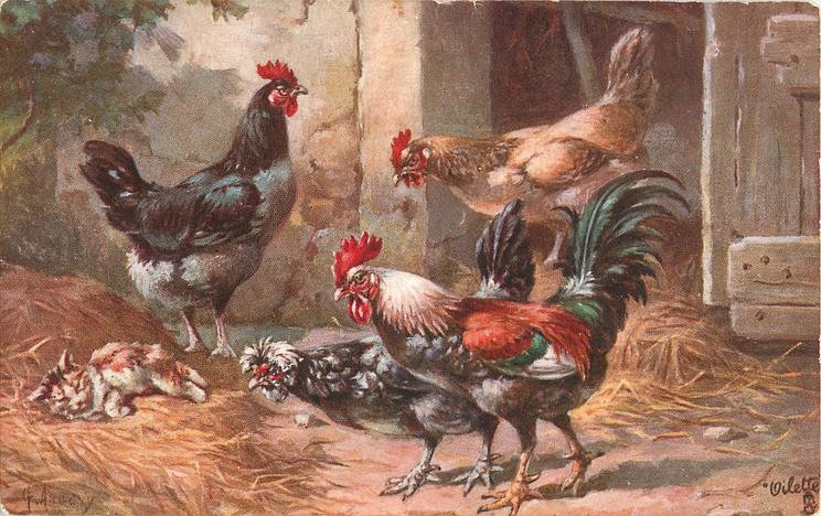 four chickens, three looking at kitten