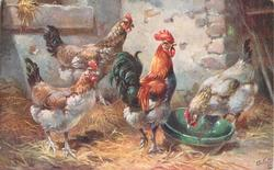 four chickens , one on right pecks at bowl, three stand to left of bowl