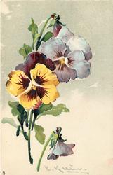 stems lower left, two open pansies left, one separated lower center