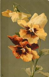 PANSIES  blood orange & yellow, two face front