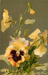 PANSIES  mostly yellow with burgundy centre, one faces front
