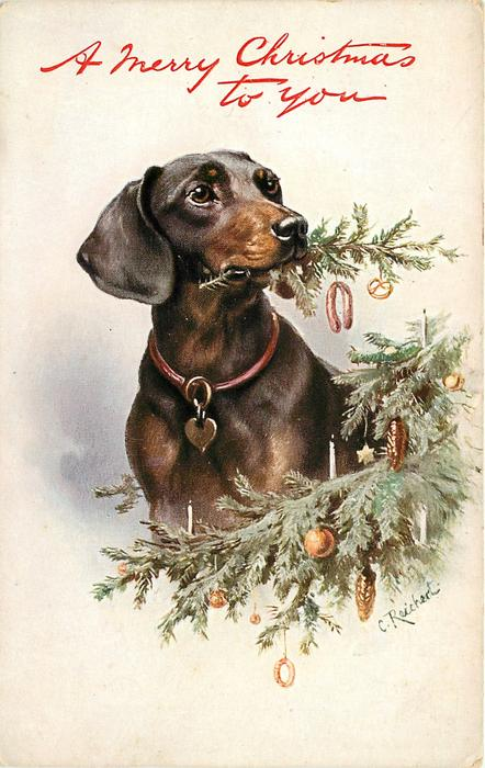 dachshund chewing Christmas tree looking right