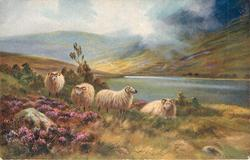 four sheep, one laying down, water behind, large rock surrounded by heather left