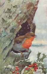 robin sits in hole in tree trunk, looking right, holly below
