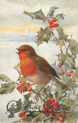 robin sits on holly branch, looking left