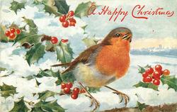 A HAPPY CHRISTMAS  close-up of robin, looking up/right on snowy wall, holly around