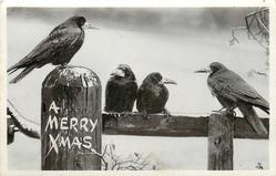 A MERRY XMAS  four crows on fence