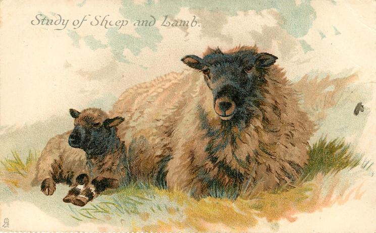 STUDY OF SHEEP AND LAMB