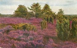 red heather in front, green trees upper left, right, and center