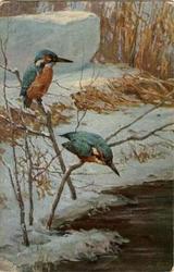 EISVOGEL kingfishers
