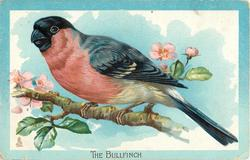 THE BULLFINCH