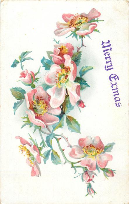 dog-roses, many pink/white flowers
