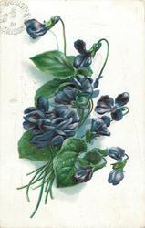 violets, deep blue flowers, nine stems to lower left, one bud upper left