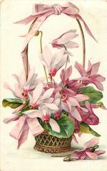 cyclamen, pink/purple flowers growing in a pot in wicker basket, pink ribbon