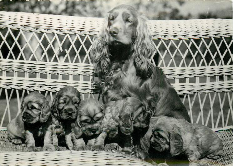dog & 5 puppies snuggle-up