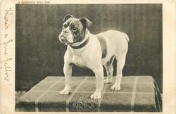 A CHAMPION BULL DOG