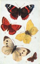 BRITISH BUTTERFLIES,  I RED ADMIRAL, |  VBROWN ARGUS