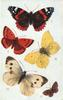 BRITISH BUTTERFLIES,  I RED ADMIRAL, |  VBROWN ARGUS