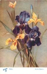 IRIS  two purple, three yellow