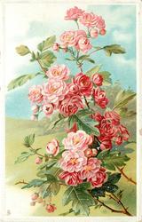pink japonica