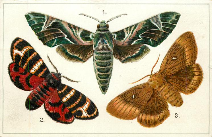 EUROPE, 1. OLEANDER HAWK MOTH... 3. OAK EGGAR