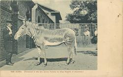 THE ZEBRA (PRESENTED TO THE LATE QUEEN VICTORIA BY KING MENELIK OF ABYSSINIA.)