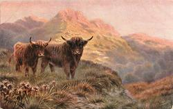 two horned bulls to left in grass, mountain behind with sunshine on it, bull to left is smaller