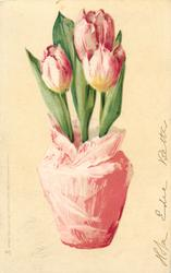 three deep pink/white tulips in pink pot