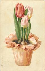 two deep pink/white tulips & one red in orange pot