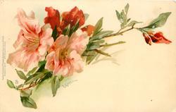 pink & red azalea