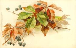 autumn foliage, elderberries